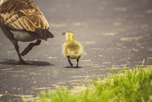 Baby Goose Walking Behind Mother Goose Near Grass