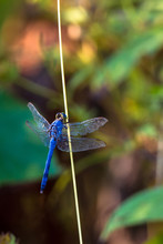 Eastern Pondhawk Dragonfly Mal...