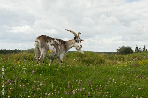 Papiers peints Arctique Goat eating grass in the meadow.