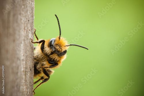 Photo sur Toile Bee Peek-a-boo bee close up