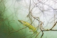 Ryba W Koronie Drzewa Wygląda...