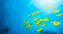 Flock Of Yellow Fish With Scuba Diver