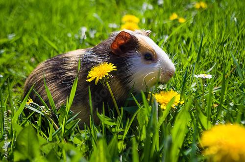 Fotografía  Funny guinea pig went for a walk