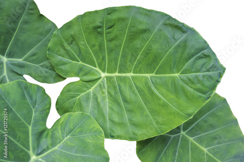 Elephant Ears Taro (colocasia esculenta) leaves isolated on white background, se Canvas Print