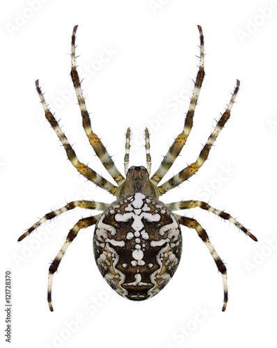 Spider Araneus diadematus on a white background
