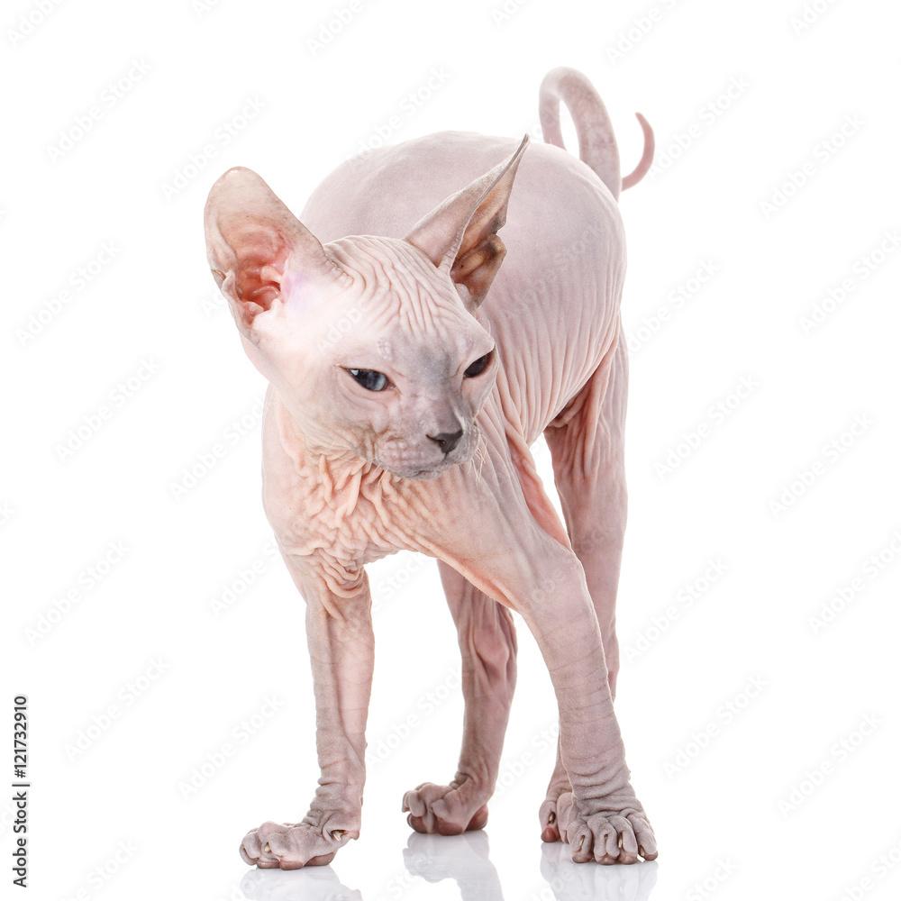 Fotografie, Obraz Sphynx kitten on white background   Posters cz