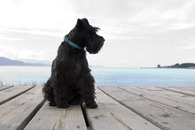 Schnauzer Dog With Coast Background