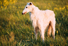 White Russian Dog, Borzoi In Summer Sunset Sunrise Meadow Or Field