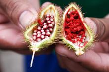 Seeds Of A Lipstick Tree