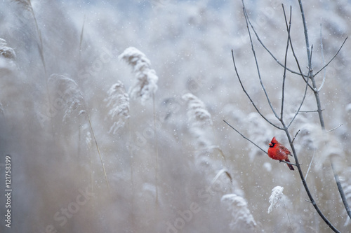 Photo  A male Northern Cardinal perches on a branch on a cold snowy day in winter