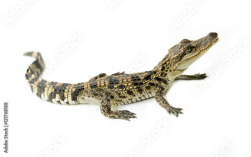 Poster Crocodile young crocodile on white background