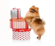 Spitz, Pomeranian Dog With Gift-box, Studio Shot On White Background