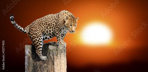 Obrazy na płótnie Canvas Leopard sitting on a tree