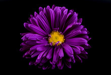 Close-up Of Violet Aster Isolated On Black Background