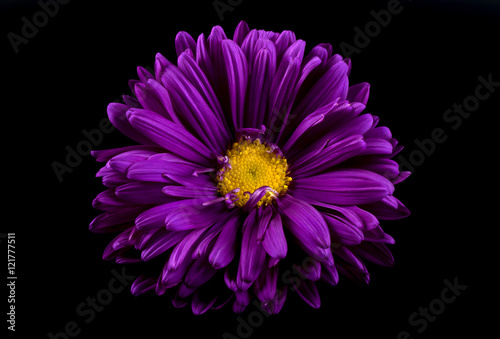 Photo Close-up of violet aster isolated on black background