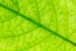 Leaf texture or leaf background for design with copy space for text or image. Abstract green leaf.