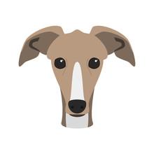 Greyhound Dog Isolated On Whit...