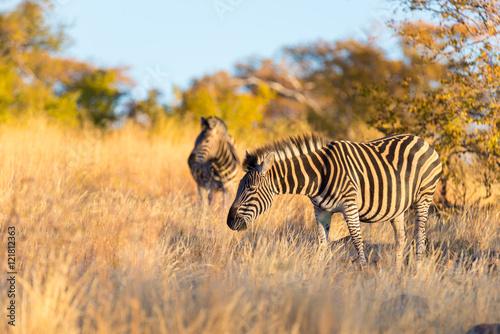 Herd of Zebras in the bush Poster