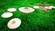 Mushroom In The Garden After Raining.
