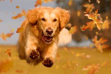 Fototapeta Hund, Golden Retriever springt durch Herbstlaub