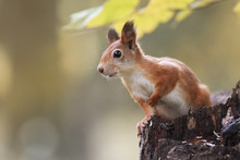 Funny Fluffy Red Squirrel Sitt...