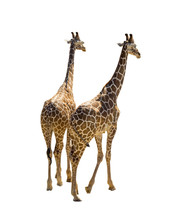 Two Giraffe Isolated On White Background. Giraffes, Rear View