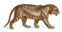 Tiger Vector Engraving Vintage Illustration