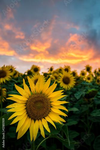 Cadres-photo bureau Tournesol Sonnenblume