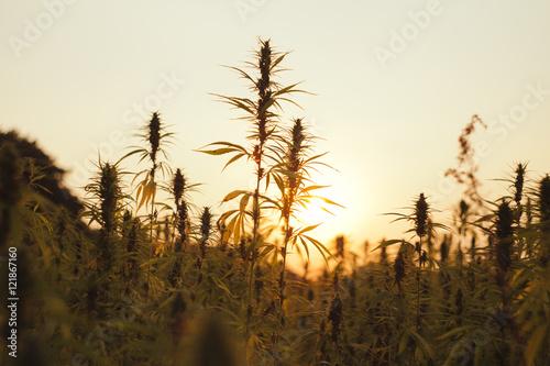 Foto auf Gartenposter Landschappen Hanf im Sonnenuntergang 1