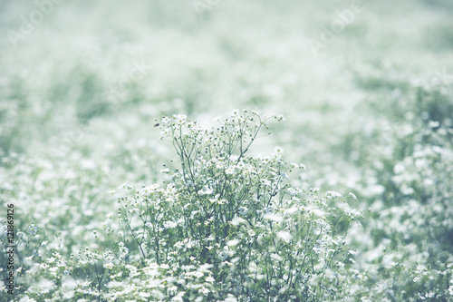 Valokuva  Gypsophila elegance close up.(Processed in vintage colour tone)