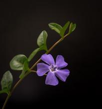 Periwinkle Flower Blooming Against Black Background