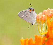 Tiny Gray Hairstreak, Strymon Melinus, On Asclepias Tuberosa Bloom Against Summer Green Background
