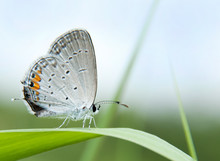 Tiny Gray Hairstreak Butterfly On A Blade Of Grass