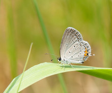 Adorable Tiny Gray Hairstreak Butterfly Resting On A Blade Of Grass