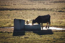 Cow And Bird By Pond On Grassy Field