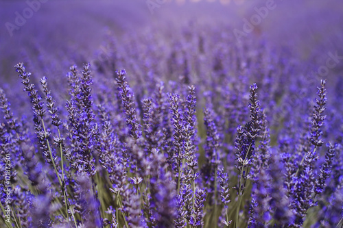 Tuinposter Lavendel purple field