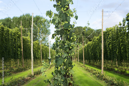 Fotografie, Obraz  hop cones in the hops farm ripe for the harvesting , Villoria village, Leon, Sp