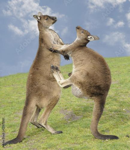 grey kangaroos fighting