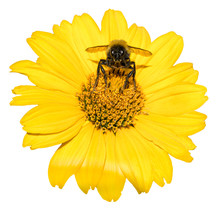 Bee Collects Pollen From Yellow Flowers Perennial Aster Isolated