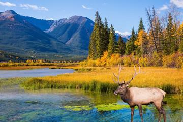 Fototapeta Zwierzęta Indian summer in the Rocky Mountains