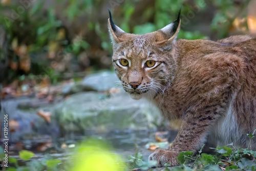 Foto auf Leinwand Luchs Lynx in the forest, a portrait