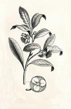 Tea Plant (Camellia Sinensis) (from Meyers Lexikon, 1895, 7/338/339)
