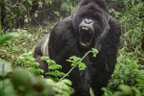 Fotografie, Obraz  Silverback mountain gorilla in the misty forest opening mouth