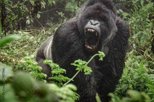 Obraz na plátně  Silverback mountain gorilla in the misty forest opening mouth