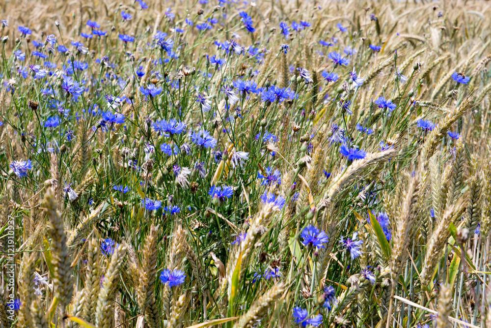Cornflowers / many Cornflowers on a meadow