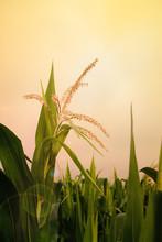 Top Of Corn Field