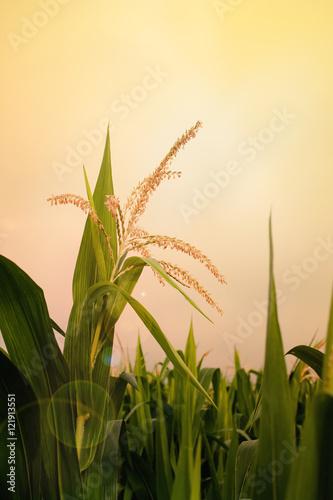 Valokuva top of corn field