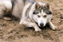 Husky Dog On The Sand