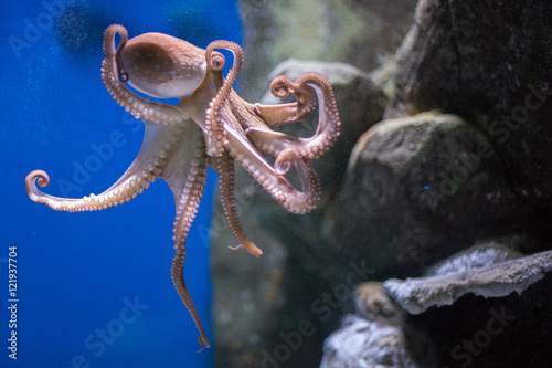 octopus underwater close up...