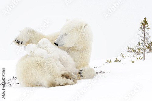 Tuinposter Ijsbeer Polar bear mother (Ursus maritimus) playing with two new born cubs, Wapusk National Park, Manitoba, Canada